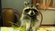 Какво ли прави това енотче - Колко сладко си хапва грозде