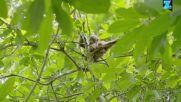 Спасяването на майка и бебе орангутани