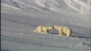 Съревнование за женска при белите мечки...