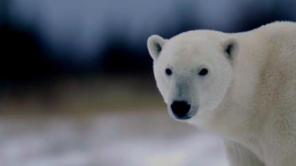 Международен ден на полярните мечки 27 февруари