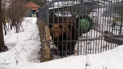 Пиян руснак реши да премери силите си с мечка