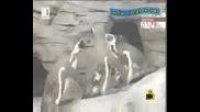 Гей двоика пингвини - Господари на ефира