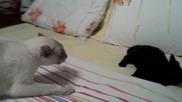 Ето как котка нададе боен рев срещу малкият си събрат