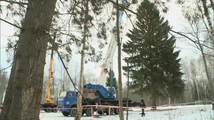 Russia: Kremlin Christmas tree chosen after six-month 'beauty contest'