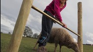 Момиче дресира овца да прескача препятствия .. Вижте!