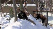 Бой без правила: Червена панда срещу Червена панда