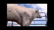 Мускулеста Крава - Невероятно!!!