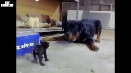 Малко коте срещу Ротвайлер