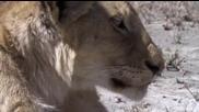Гибелта на младият лъв..