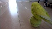 Папагал си играе с тенис топка