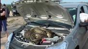 Огромен питон се скри под капака на автомобил