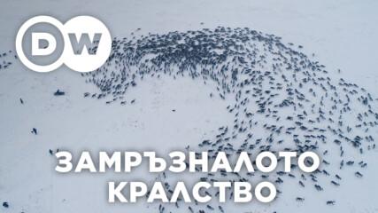 Топене на ледовете в Сибир – заплаха за северните елени