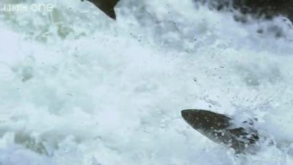 Hd : Мечки Гризли ловуват риба - Bbc One
