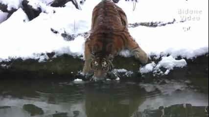 Играта на тигрите