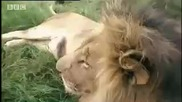 Into the lions den! - extreme animals - Bbc wildlife