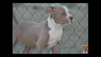 Beautiful Pitbull Puppies