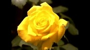 Роза - Машина на времето