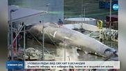 Уловиха рядък вид син кит в Исландия