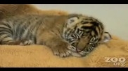 сладко малко тигарче