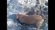 Дакел копае дупка