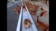 Орда елени задръства път в Япония
