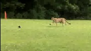 Най - бързият бозайник на планетата