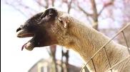 Super Компилация Смях - Кози и овце крещящи като хора