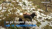 КАТО ДЕЦАТА: Панди се търкалят в снега