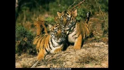Сладки тигърчета