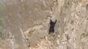 Мече следва майка си като алпинист по отвесна скала !