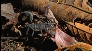 Най-смъртоносните в света - Скорпиони канибали се бият до смърт..