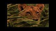 Страхотен Филм С Превод! The Last Lions / Последните Лъвове * Част 1/4 *