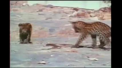 Малки Леопардчета срещу Кралска Кобра