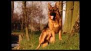 Немска Овчарка - Нок - Alsatian dog - German Shepherd