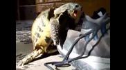 Костенурка изнасилва oбувка! (100 % Смях)
