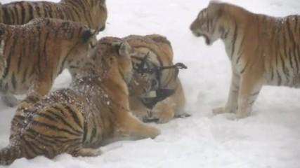 Пълнички сибирски тигри гонят електронна птица