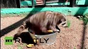 Миещи мечки обожават да мият чаши и чинии