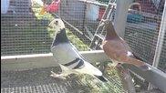 Състезателни гълъби Southtown състезатели