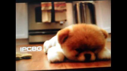 Най-сладкото и най-известното кученце в интернет - Boo