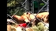 Лъвове нападат гледача си