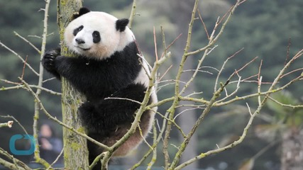 Pandas in China Had Sex for 8 Minutes