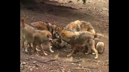 За любителите на вълци