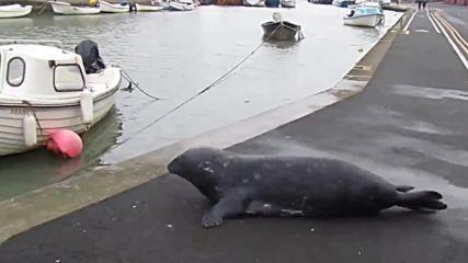 Тюлен излиза на сушата, за да отиде до морски ресторант