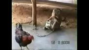 Кокошка, Маймуна И Котка
