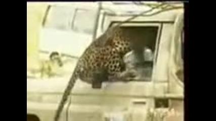 Тигър напада човек в кола