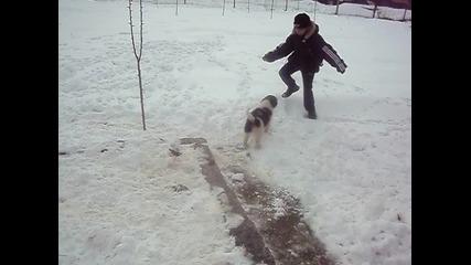 каракачанско куче на 2 месеца