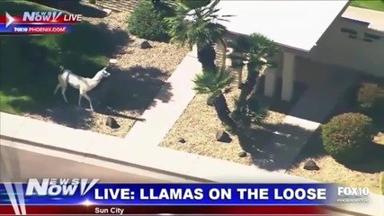 Партньори в бягството - черна и бяла лама бягат от полицията