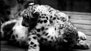 Малки снежни леопардчета...