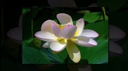 Водни лилии - музика Ернесто Кортазар