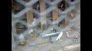 Гълъби от с. Белоградец